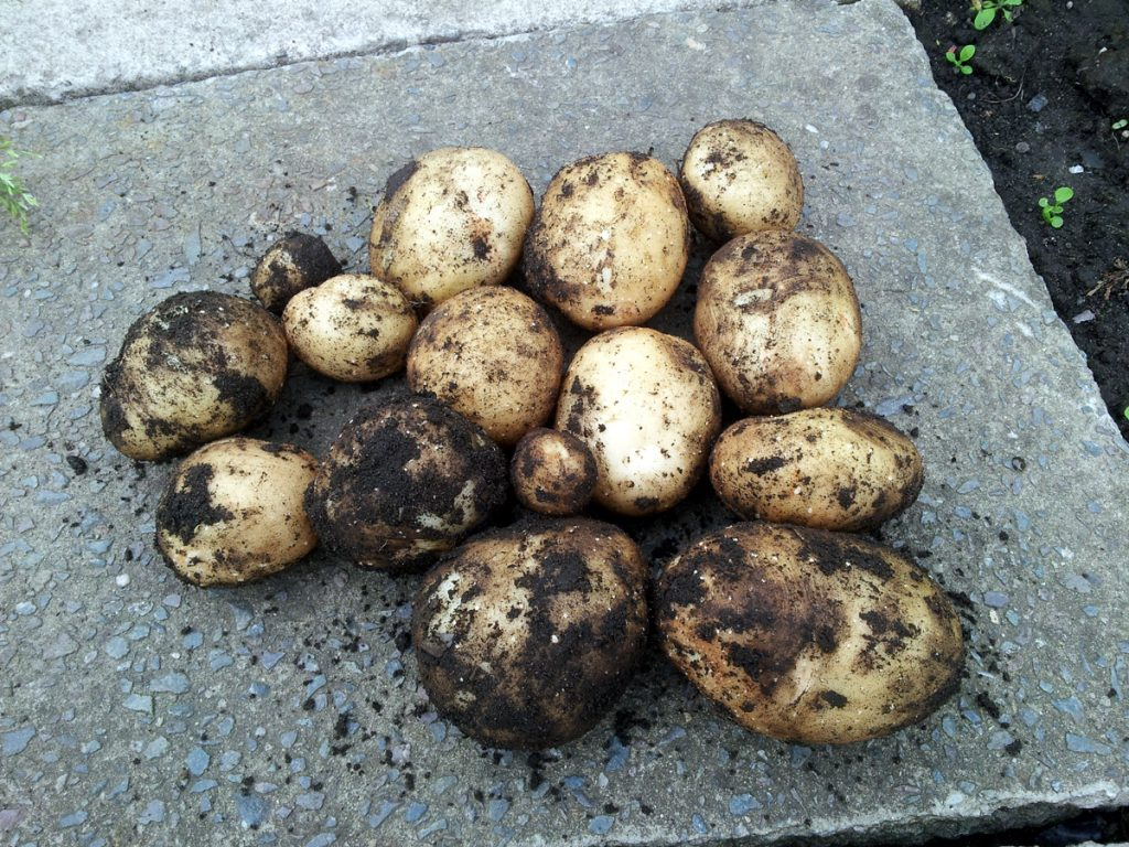 June 2016 first spud harvest