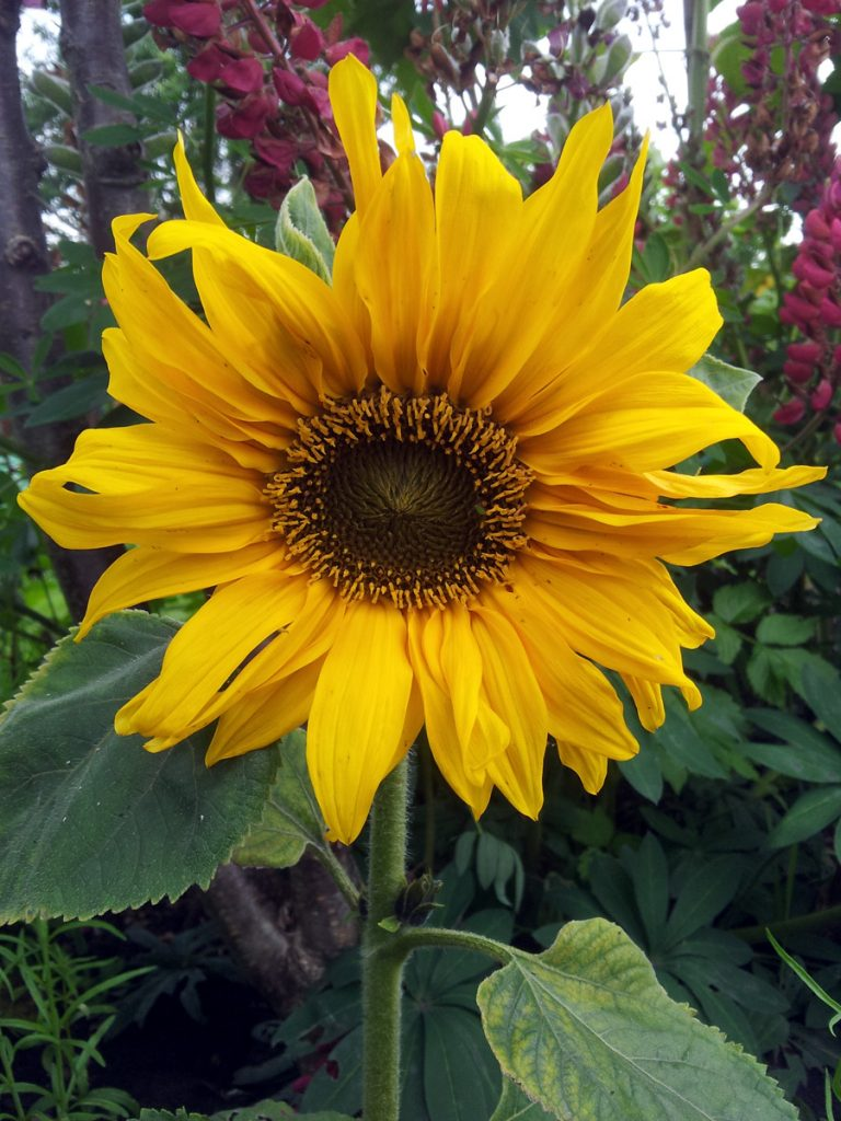 June 2016 mini sunflower