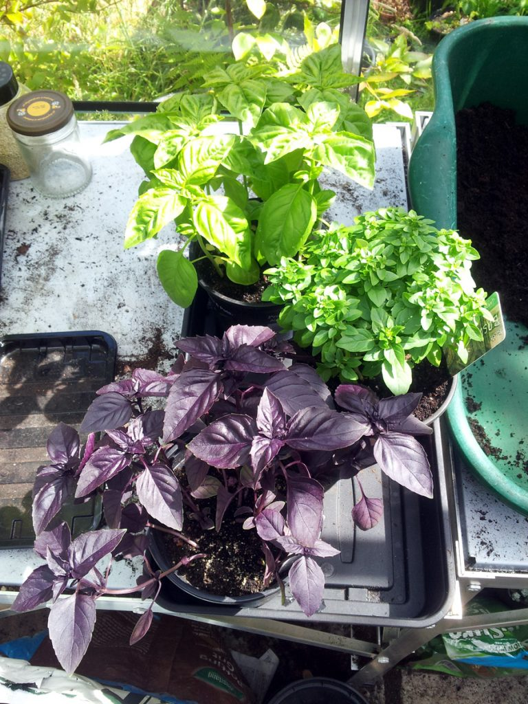 July 2016 greenhouse basil