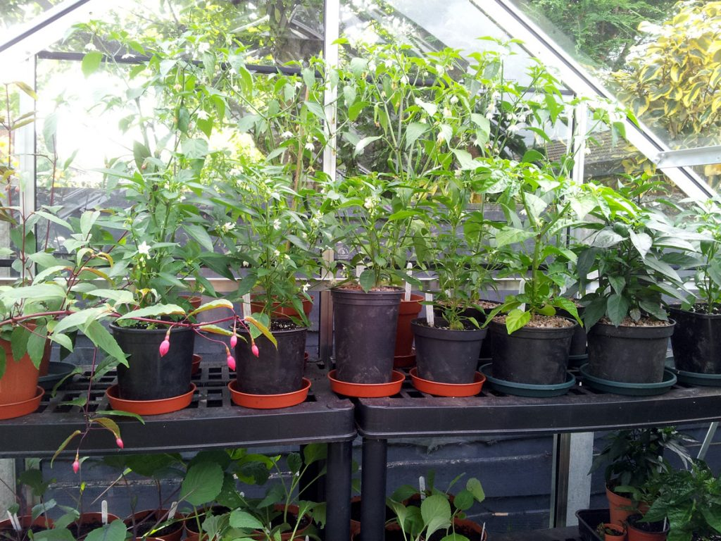 July 2016 greenhouse chillis
