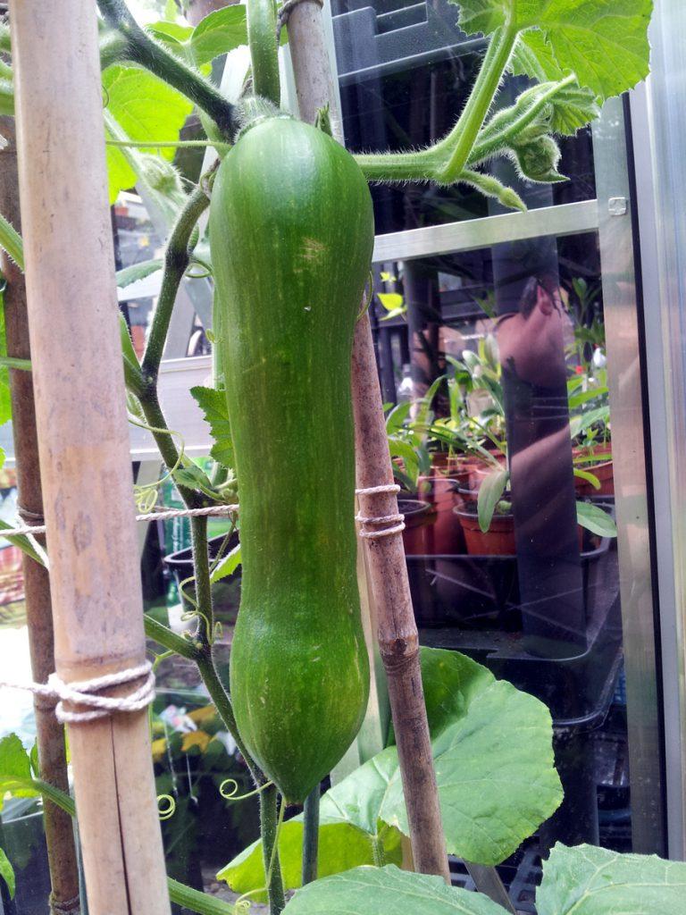 July 8th 2016 tromboncino fruit
