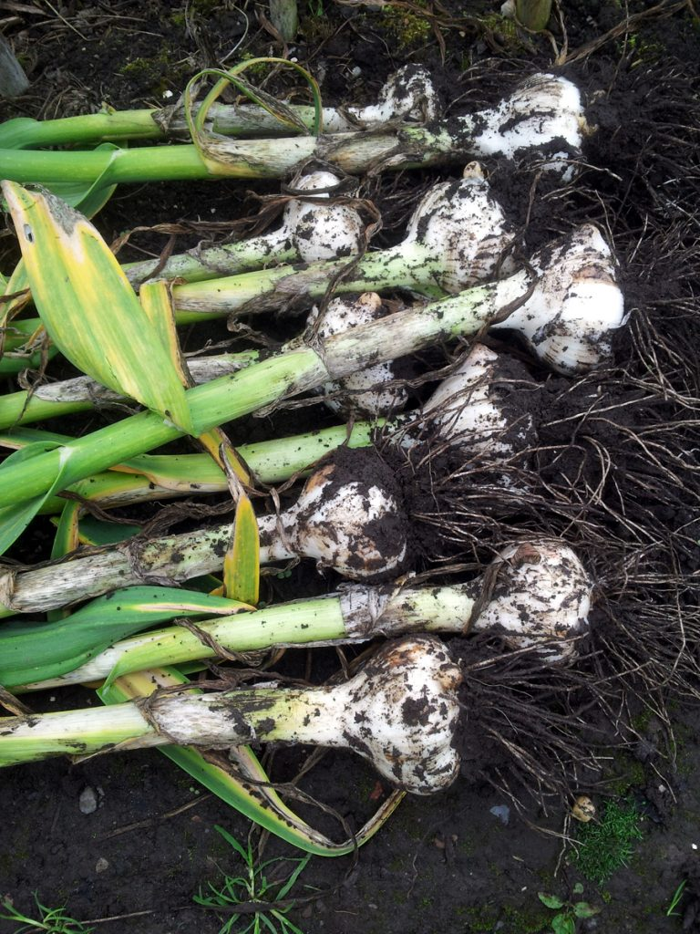 July 2016 elephant garlic