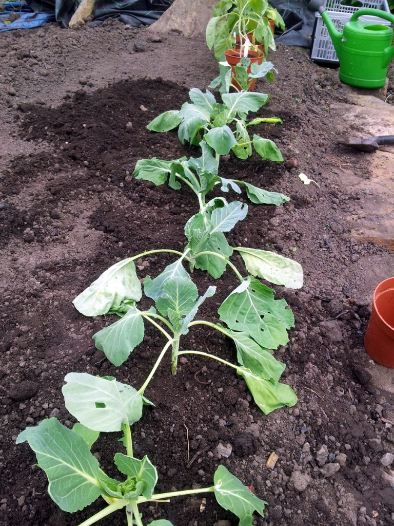 July 2016 - cabbages going in