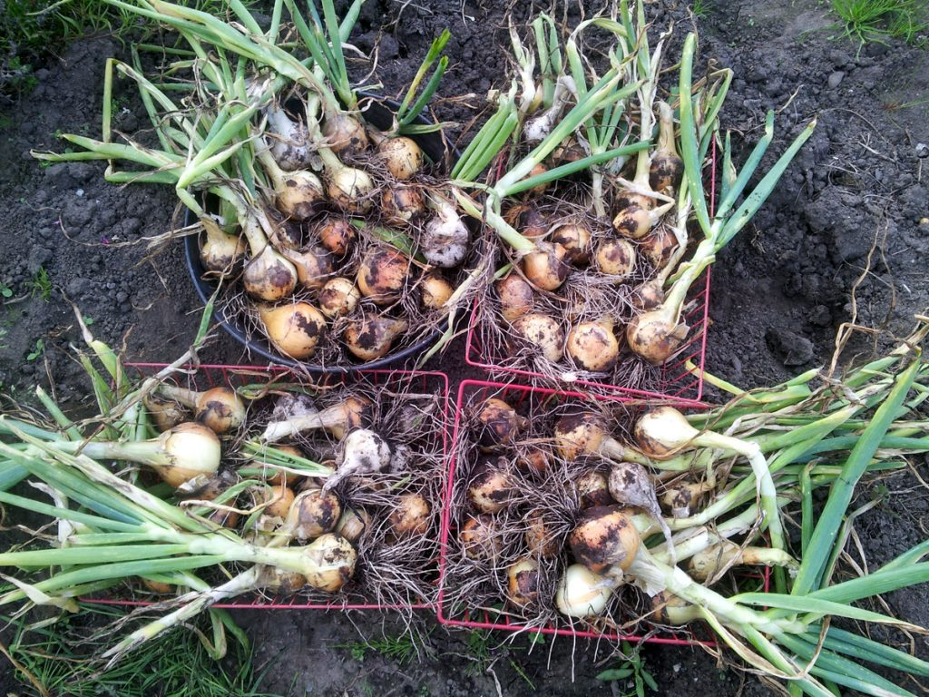 July 2016 main onion harvest