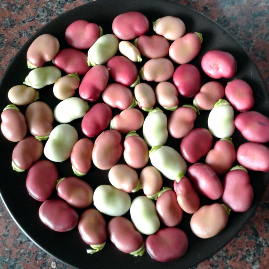 August 2016 broad beans