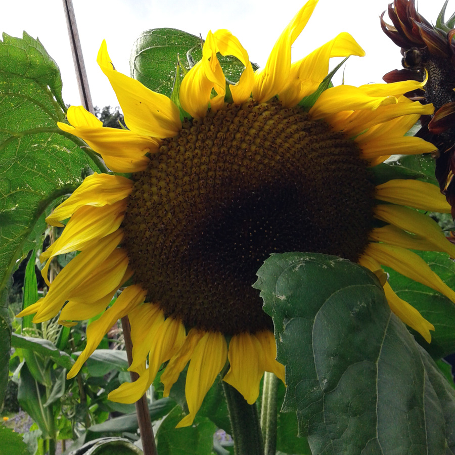 July 2016 giant sunflower