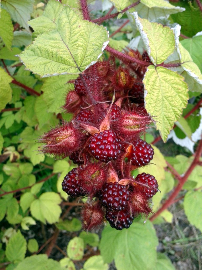 July 2016 - Japanese wineberries