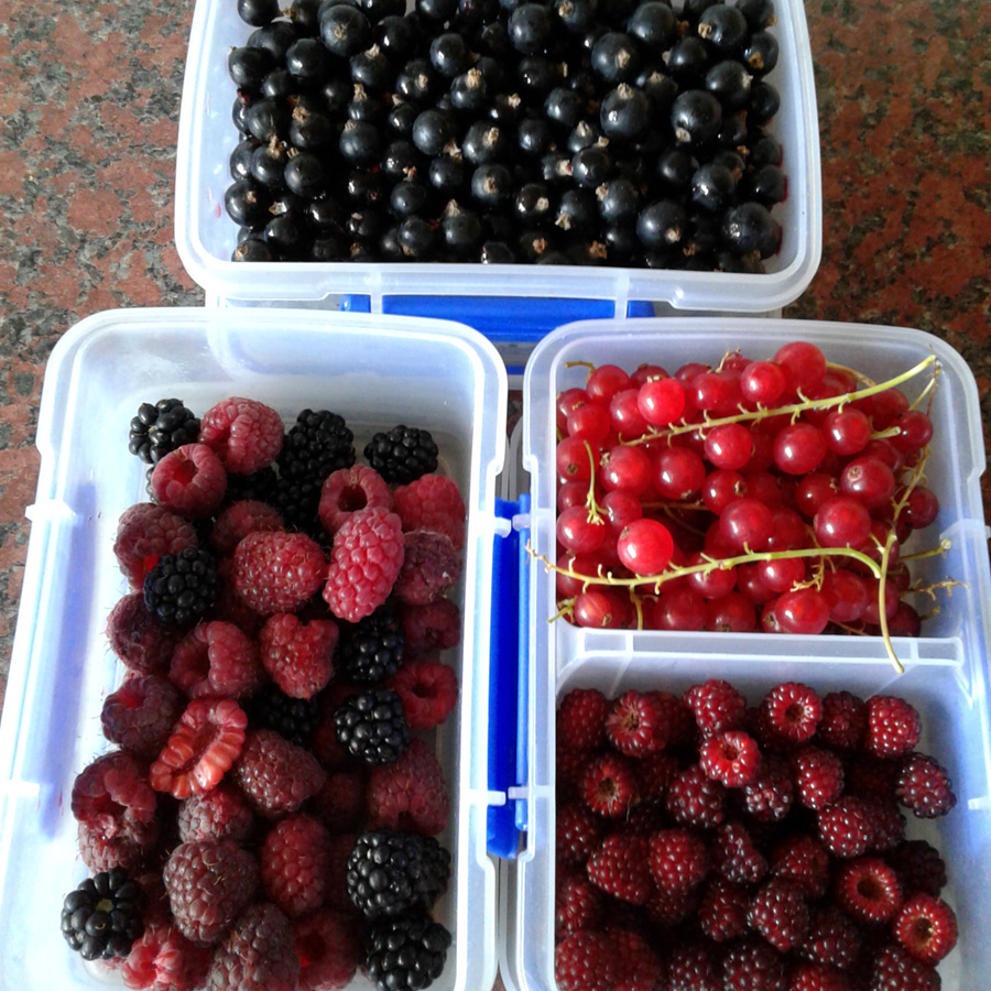July 2016 - berry harvest