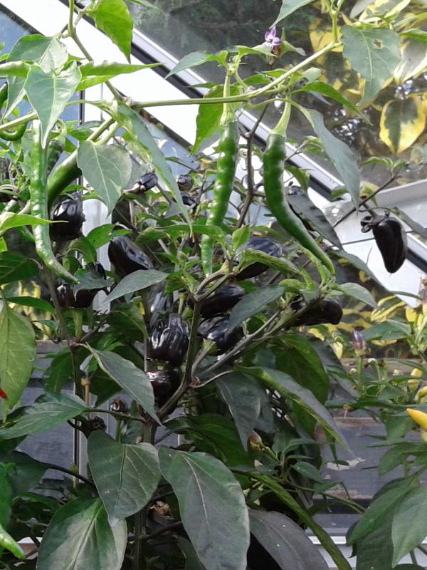 September 2016 chilli 'pot black'