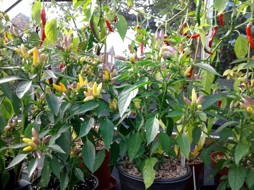 September 2016 chillis