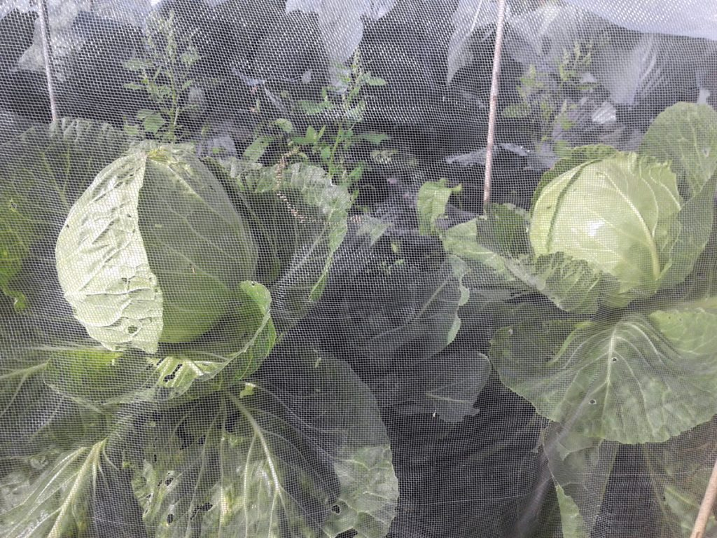 September 2016 cabbages under cover