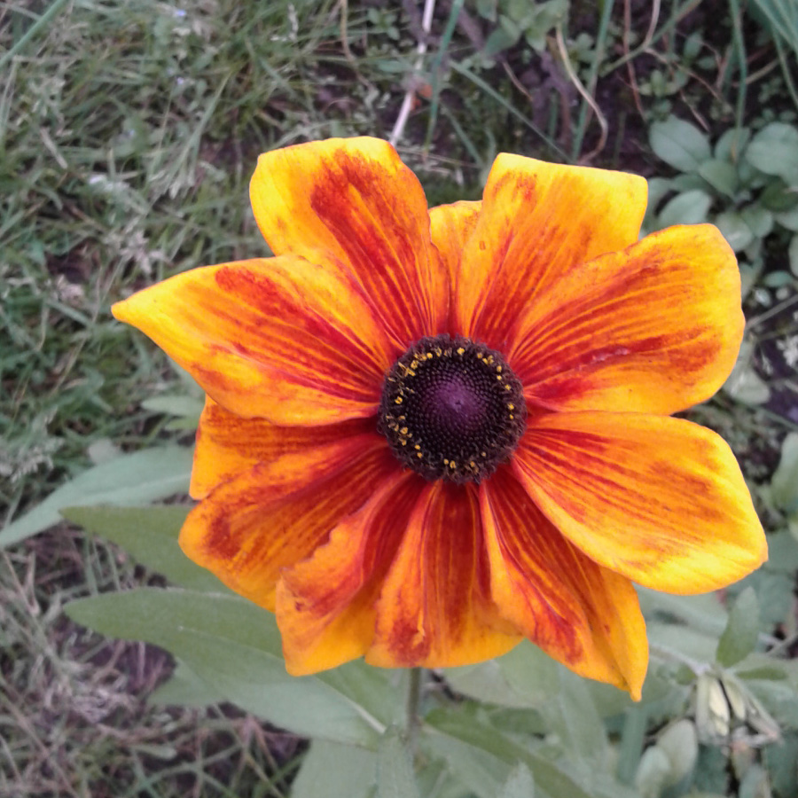 September 2016 rudbeckia mixed