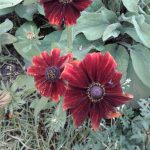 September 2016 rudbeckia red