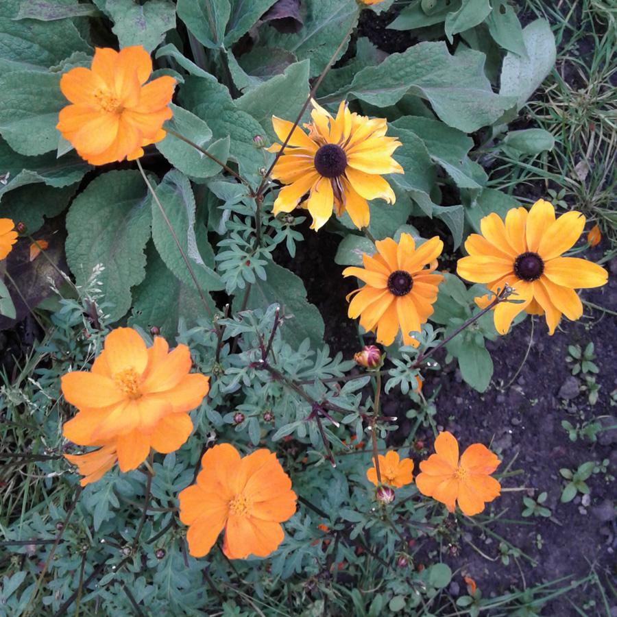 September 2016 rudbeckia yellow