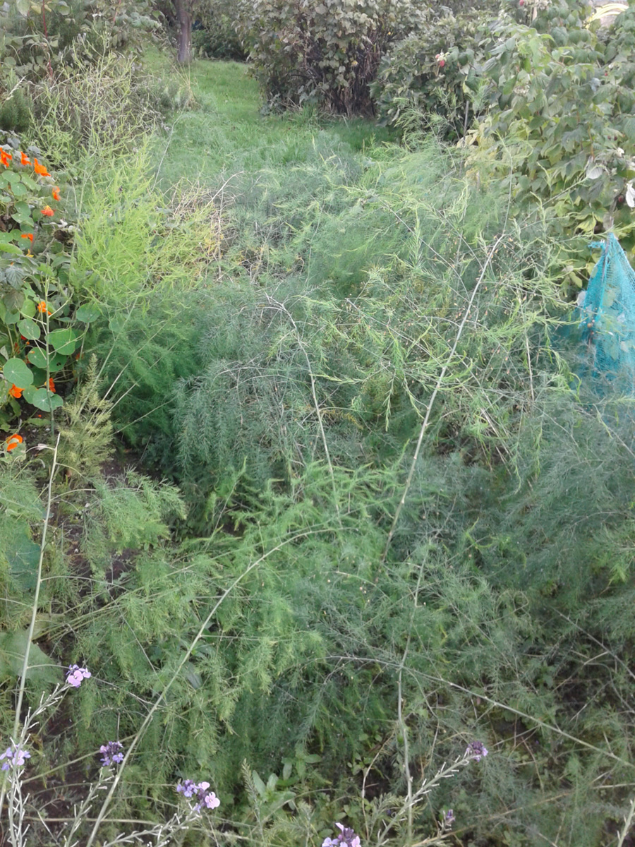 September 2016 asparagus patch