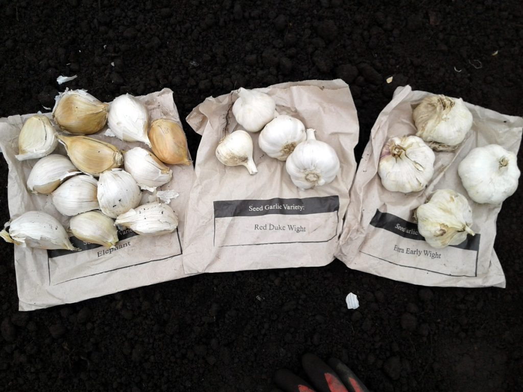 October 2016 garlic bulbs
