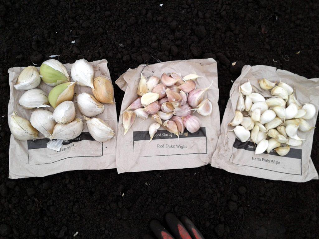 October 2016 garlic cloves