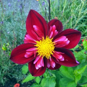 July 2016 Dahlia 'Don Hill'