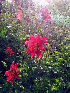 July 2016 - Dahlias enjoying the summer sun