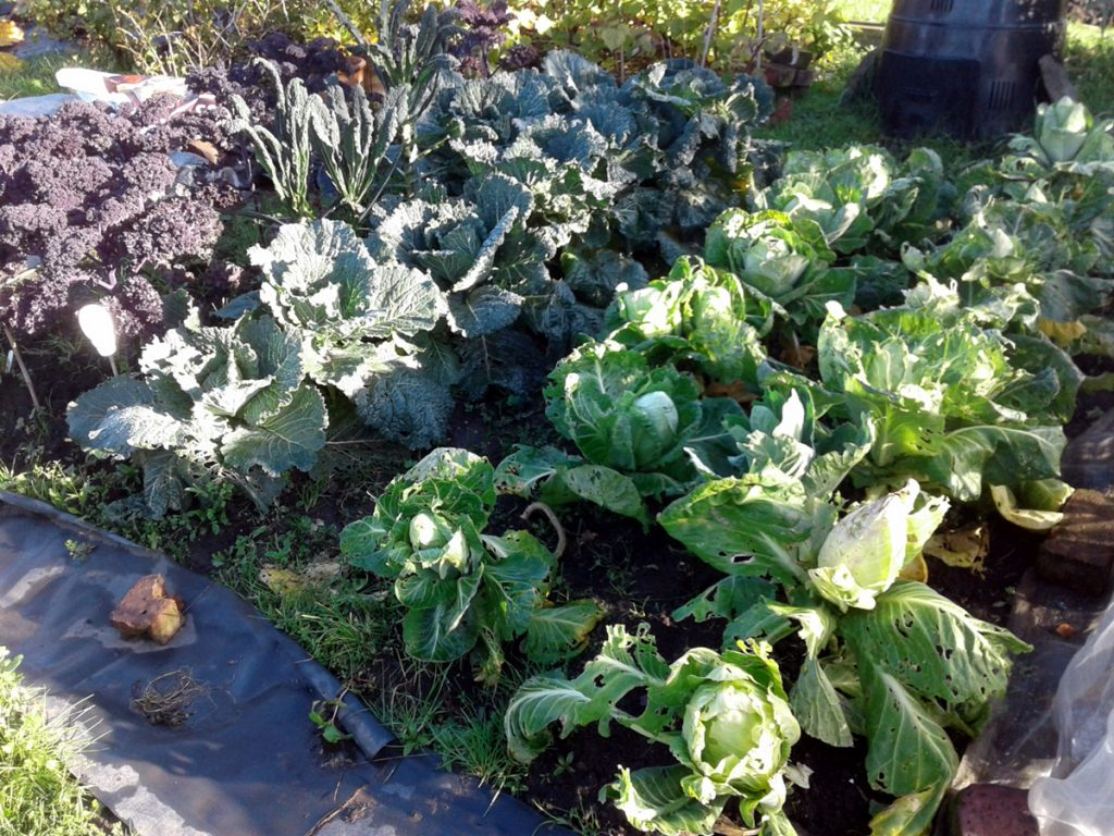 October 2016 cabbages