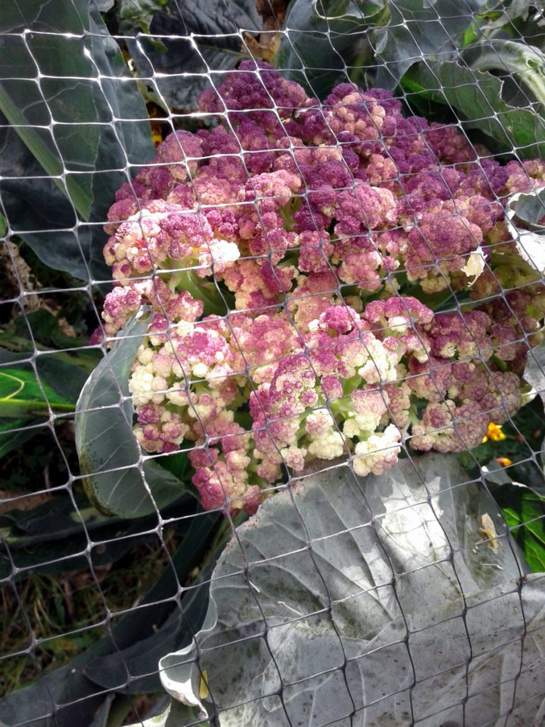 October 2016 purple cauliflower