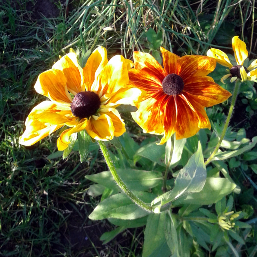 October 2016 rudbeckia