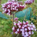 October 2016 Verbena bonariensis