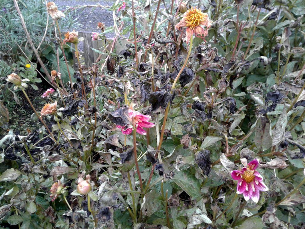 November 2016 dahlias frost-bitten