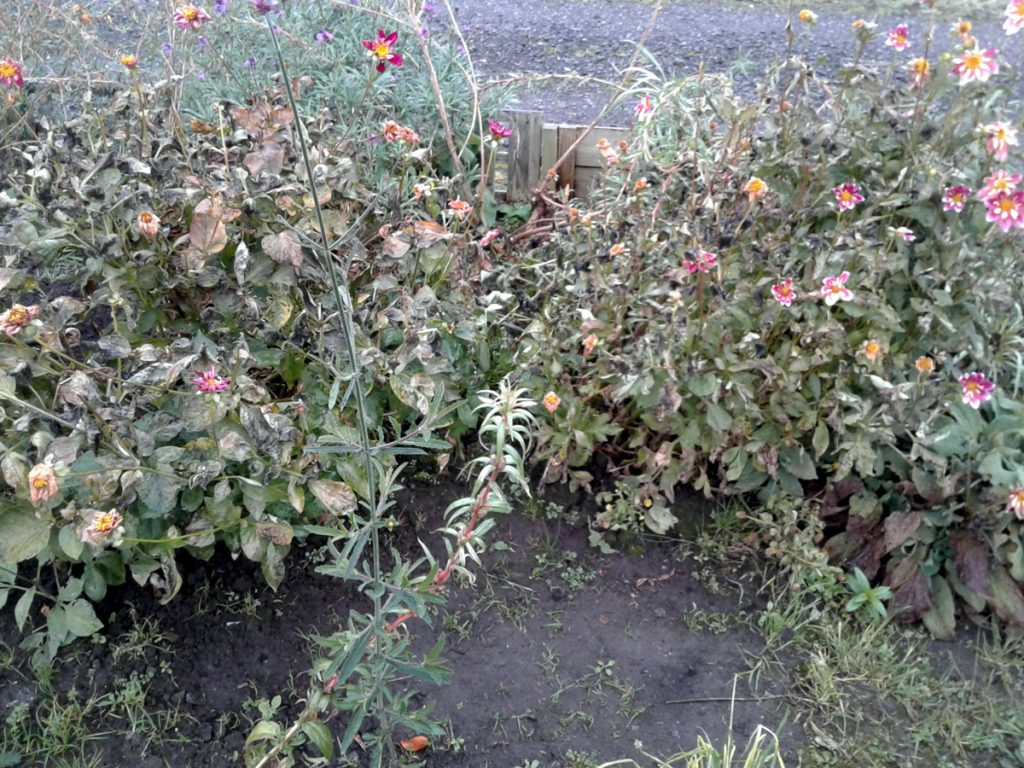 November 2016 dahlias frost-bitten