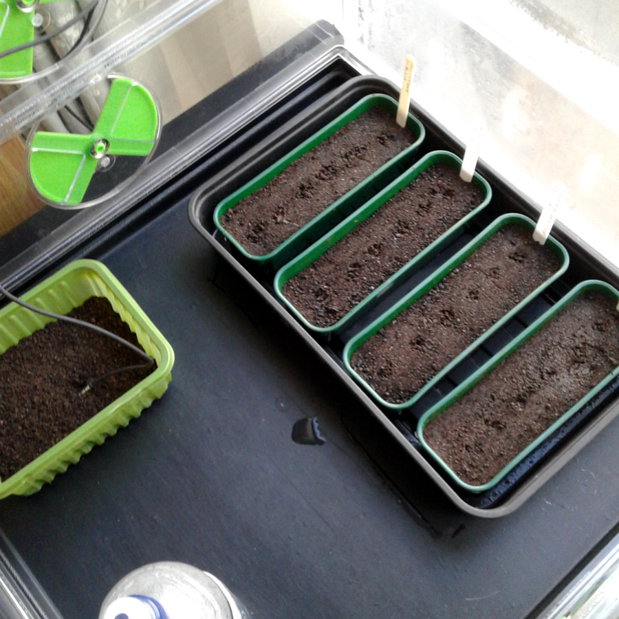 January 2017 Chilli seed trays