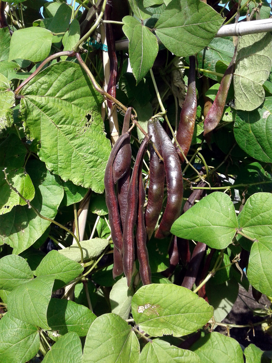 September 2016 Runner Bean 'Blackpod'