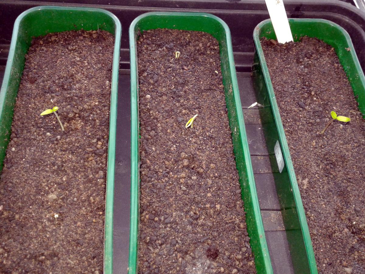 January 2017 Chilli germination