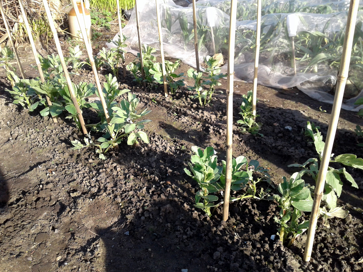 March 2017 overwintered broad beans