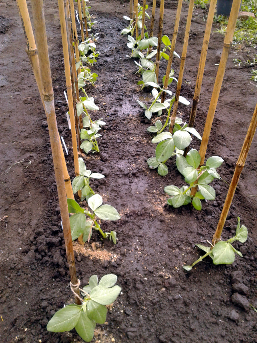 April 2017 broad beans planted