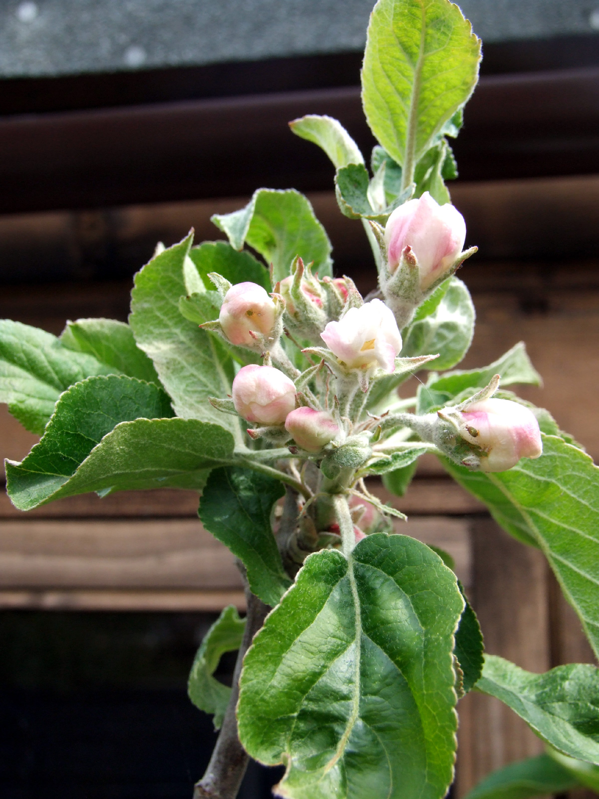 April 2017 Cornish Aromatic buds