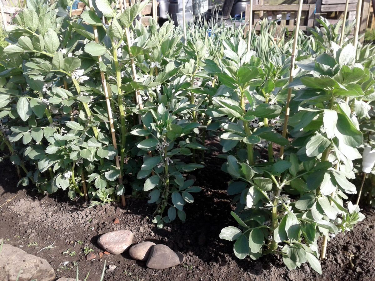 May 2017 overwintered broad beans
