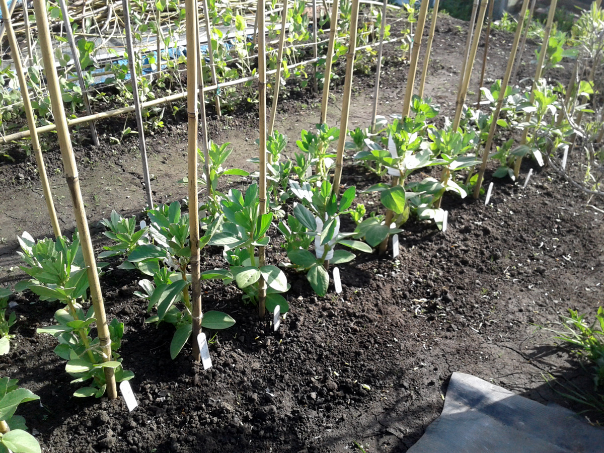 May 2017 spring-sown broad beans