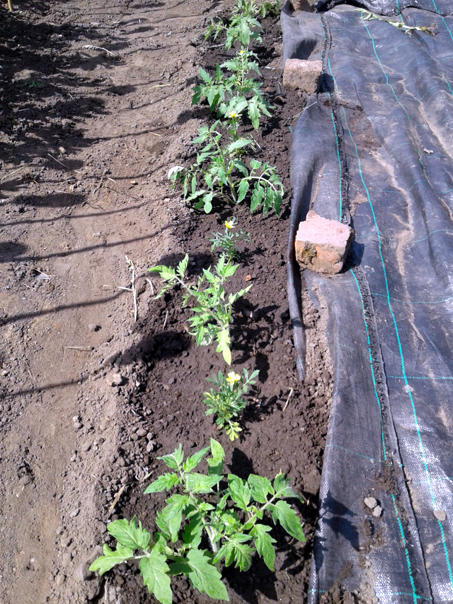 May 2017 tomatoes planted out