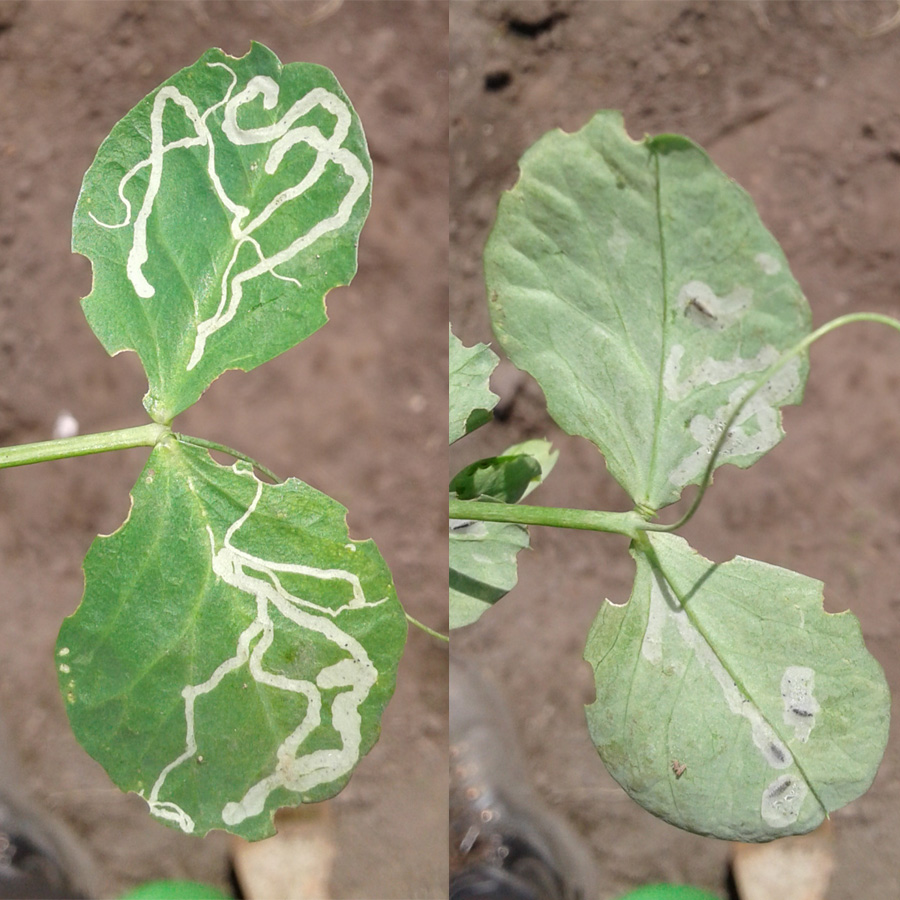 May 2017 leafminer damage