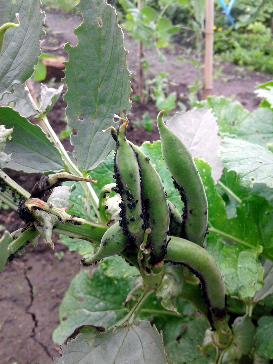 June 2017 - broad beans, many blackfly