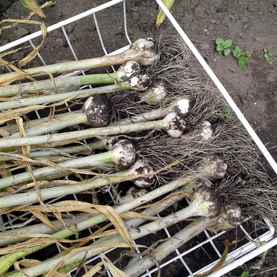 July 2017 garlic harvest