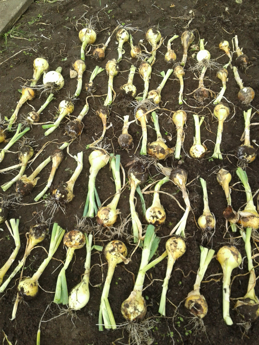 July 2017 onions in quarantine