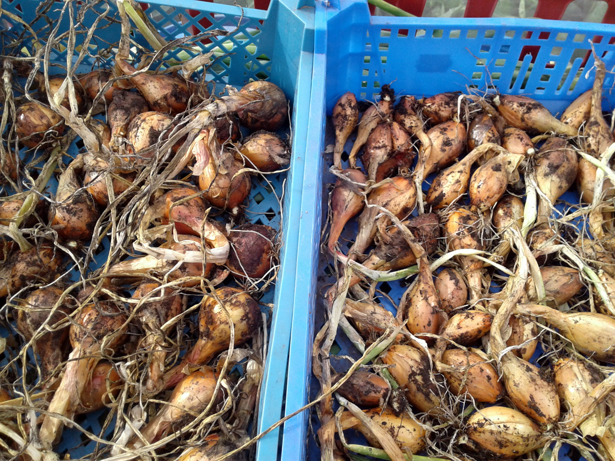 July 2017 shallot harvest