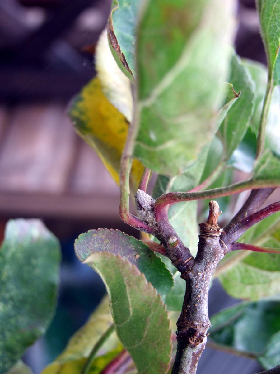 September 2017 - apple 'Cornish Aromatic' fruit bud?