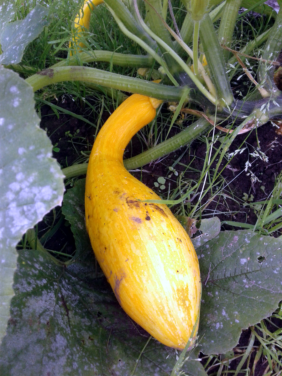 September 2017 - Courgette 'Zephyr' / Crookneck Squash