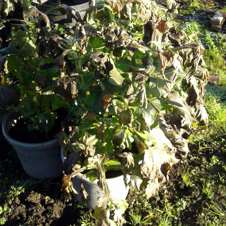 November 2017 frosted Yacon plants