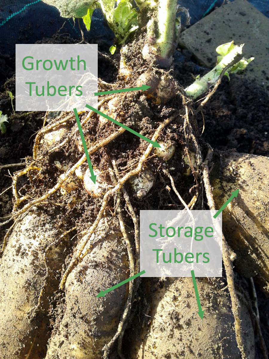 November 2017 Yacon tubers
