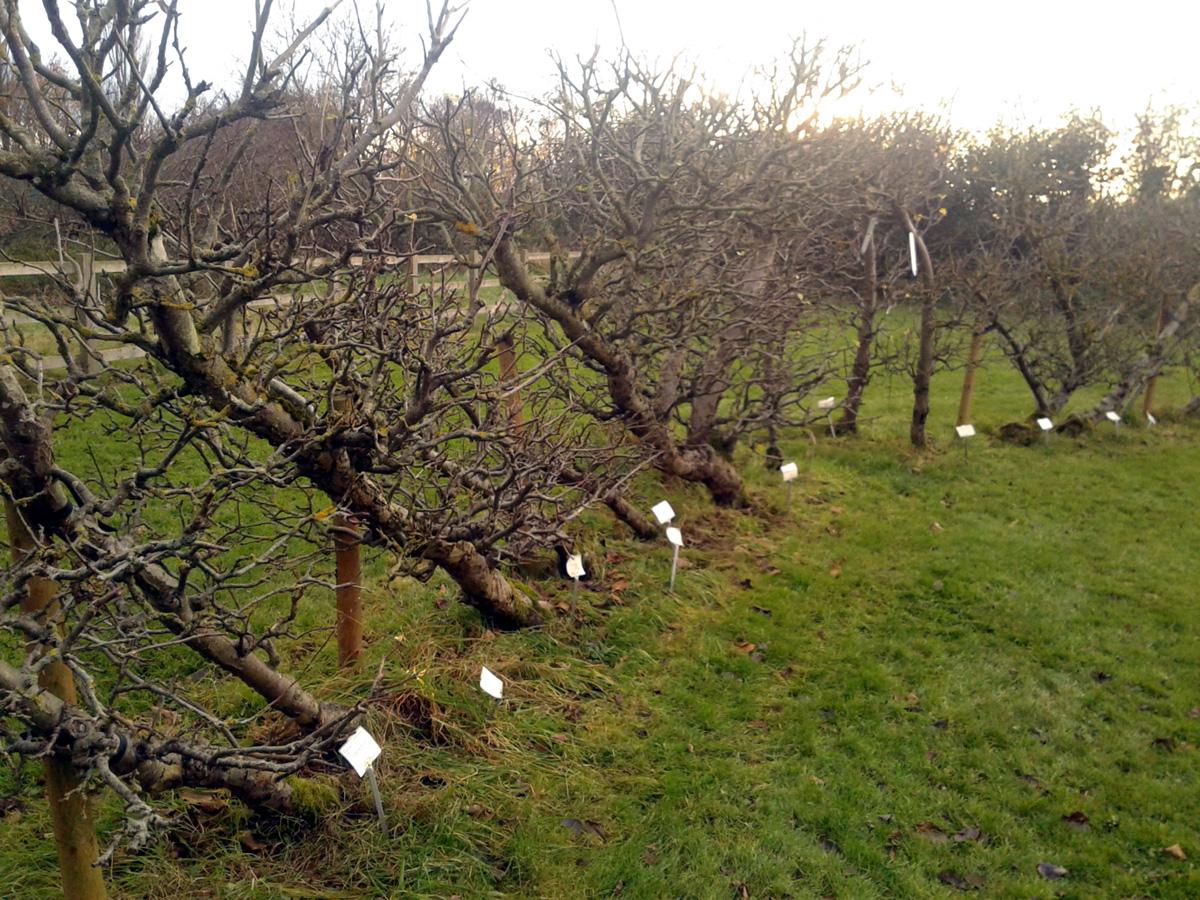 November 2017 Garden Organic cordon orchard