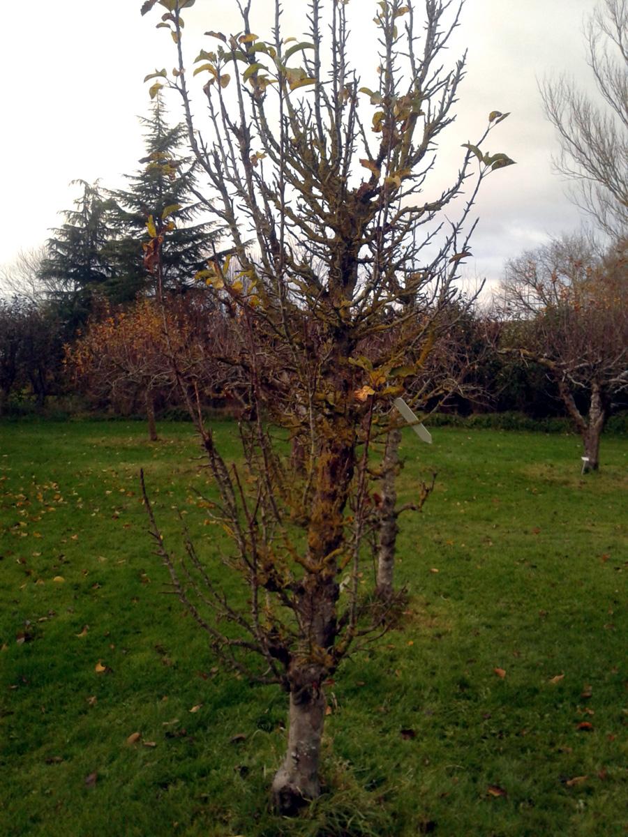 November 2017 Garden Organic pear tree