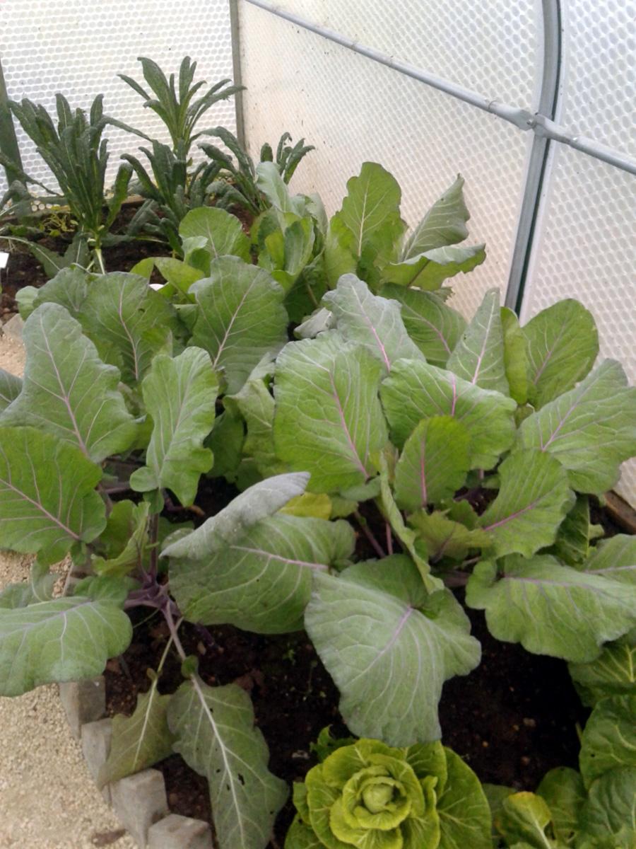November 2017 Garden Organic brassicas